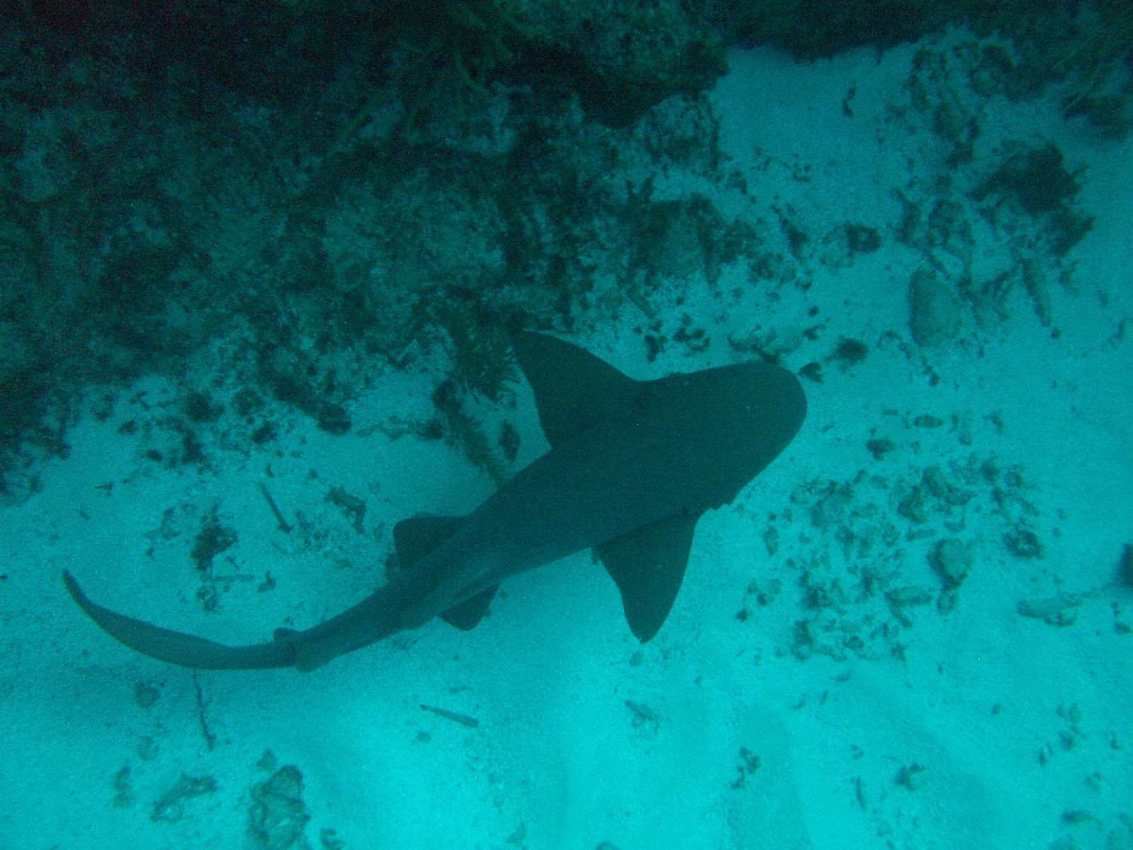 Scuba Diving Belize with Sharks