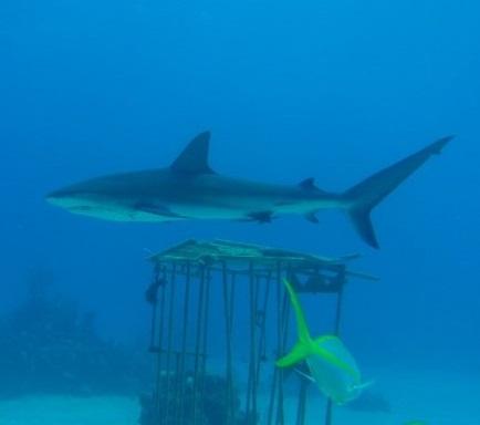 scuba diving Nassau Bahamas with sharks